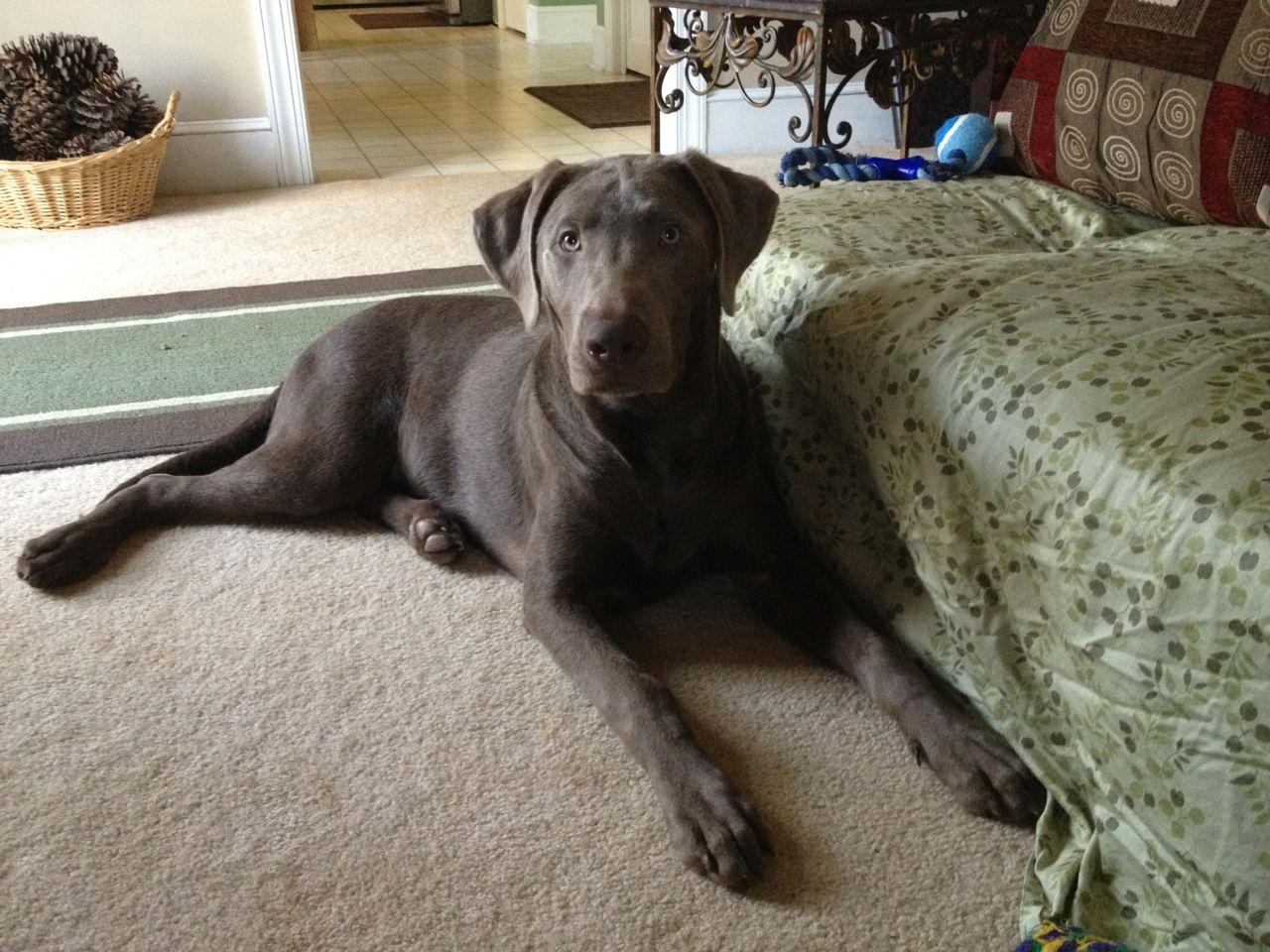 Blue Knight Labrador Retriever