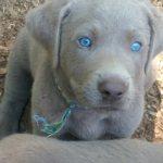 Ellendale Labradors Akc Silver Charcoal Black Yellow Chocolate Labrador Retrievers