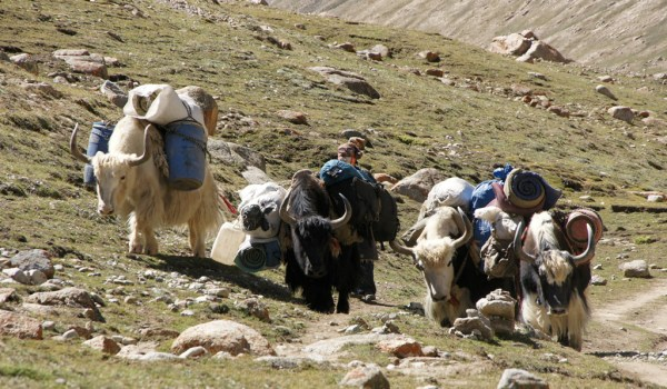 Day 1 of the kora: yaks on the trail turning and climbing from the Lha-chu Valley to Dira-puk Monastery (2010)