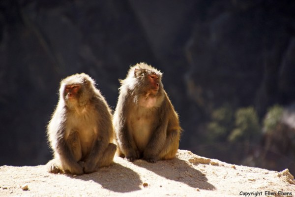 Wild monkies (Tibetan macaques) on the road from Nangxian to Tsedang
