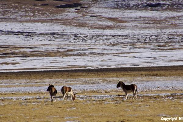 Second day of the kora around Yamdrok Tso Lake, kiangs (the Tibetan wild donkeys)