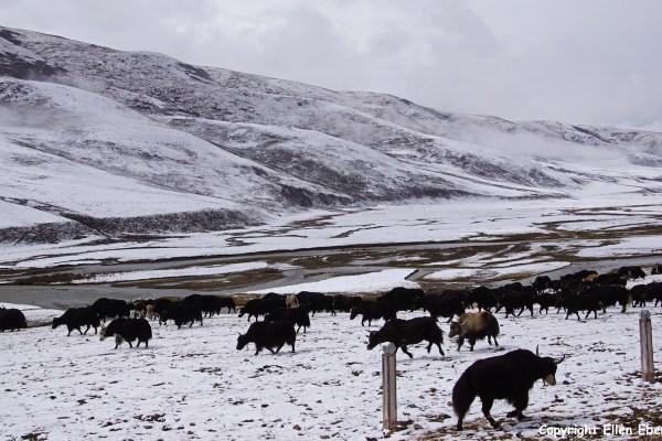 Kham snow yaks