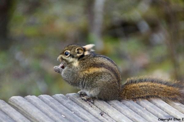 Songpan Huanglong squirrel