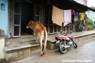 A cow in a street in the city of Maneshwar
