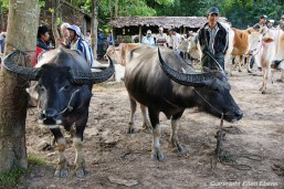 On the road from Toungoo to Kalaw, cattle market
