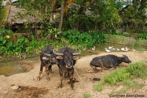 Buffaloes at a farm on the road from Toungoo to Kalaw