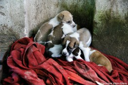 Amarapura, a litter of puppy's on the street