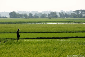 On the road from Pathein to Chauntha Beach, rice fields