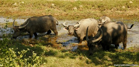 On road from Chauntha to Yangon, water buffaloes