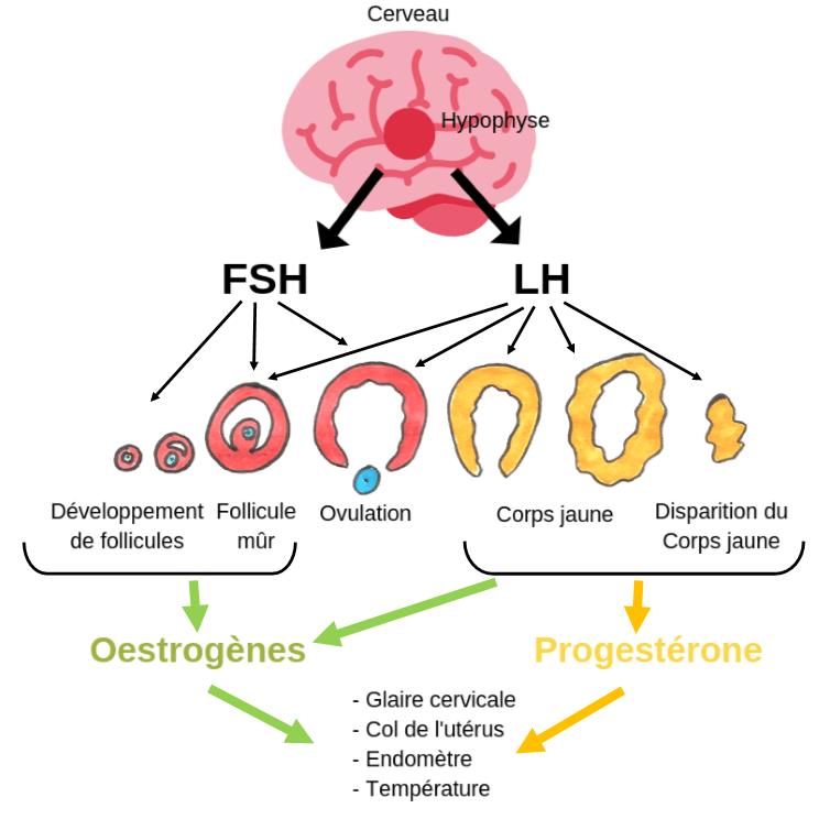 hormones-follicules