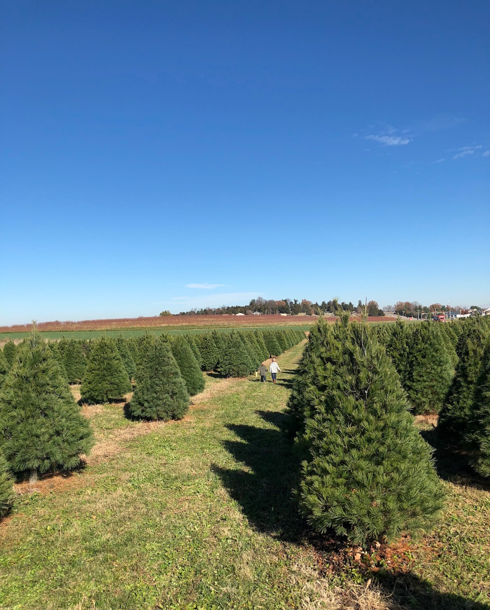 She's a beaut Jude - Cut your own Christmas Trees at Eckert's   Ellie And Addie