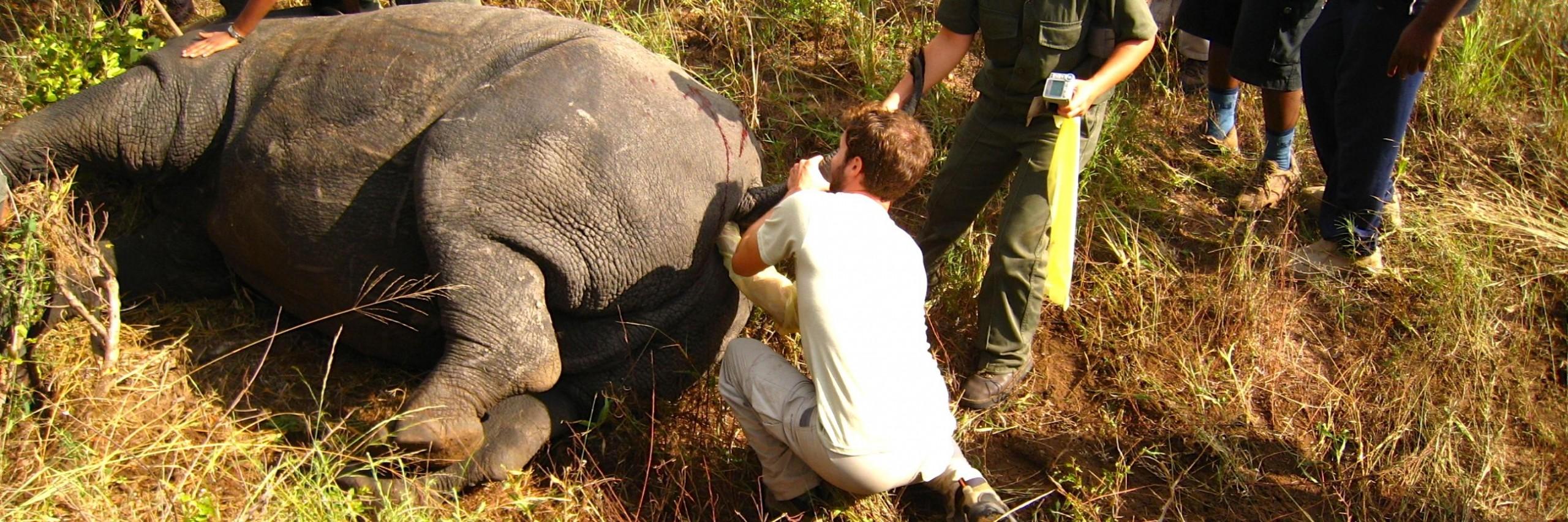 Elliott Garber Palpating Rhino in South Africa