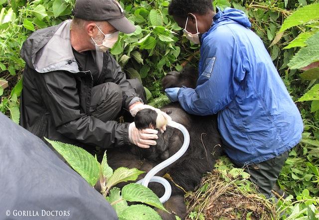 Mike-Cranfield-Gorilla-Doctors-field-anesthesia