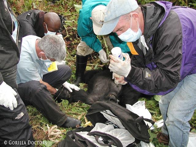 Mike-Cranfield-Gorilla-Doctors-field-treatment