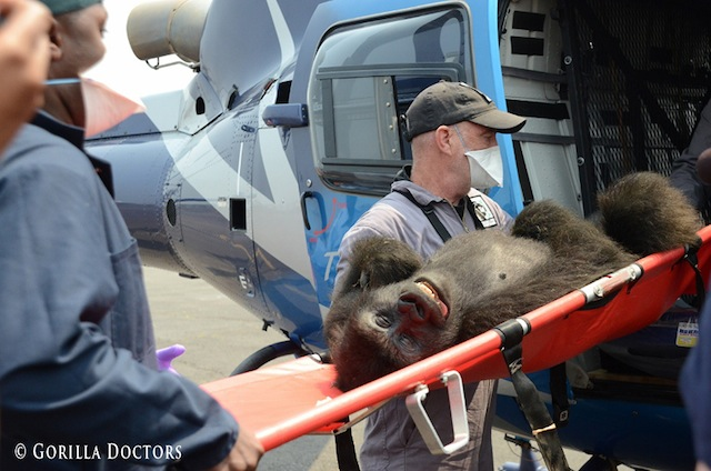 Mike-Cranfield-Gorilla-Doctors-helicopter-transport