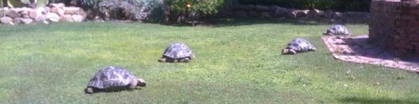 Galapagos-tortoise-behler-chelonian-center