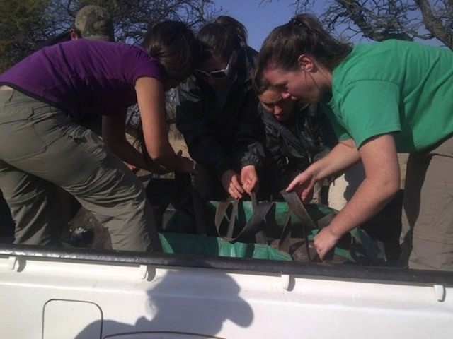Helping to transport a nyala during game capture. Photo courtesy of EcoLife.