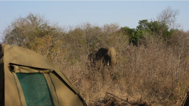 A wild elephant behind my tent in Mjejane. Personal photo.