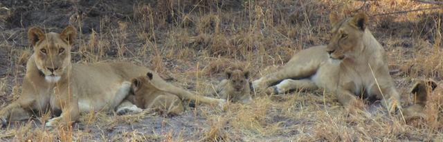 lion-cubs-Botswana-veterinary