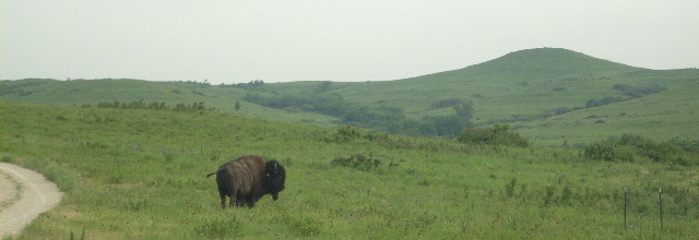 Bison at Konza Prairie Biological Station