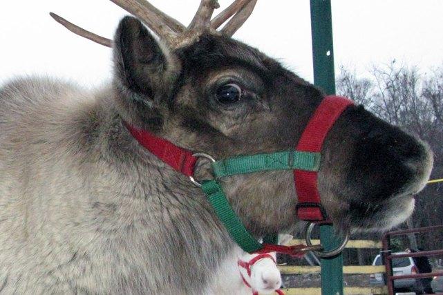 Pet reindeer at Ellm's Family Christmas Tree Farm