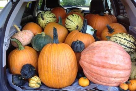 Big pumpkins from Ellms Family Farm - Saratoga pumpkin patch