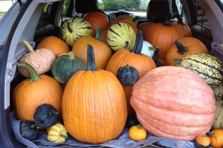Big pumpkins from Ellms Family Farm - Saratoga pumpkin patch