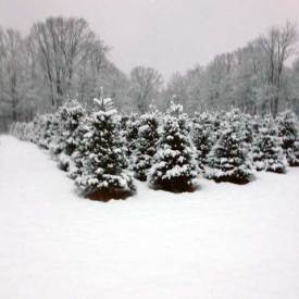 Picture perfect christmas trees in Saratoga