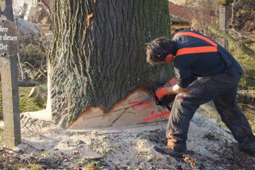 Lindenbaum-Holz zu kaufen