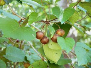 árbol de Tung