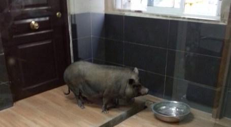 Capturan un cerdo vietnamita de 45 kilos en la huerta de Paterna
