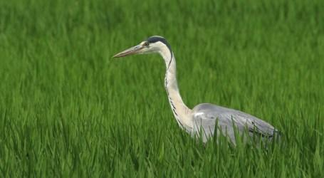 Les dades d'aus de L'Albufera indiquen millores en l'ecosistema