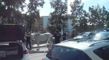 La policía captura un caballo que se había escapado en Burjassot