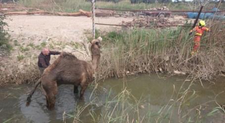 Rescate a un dromedario en Alfafar