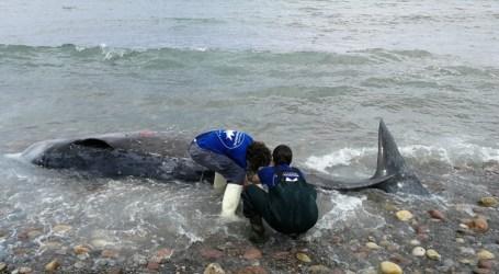 Aparece muerto un zifio de 2 toneladas en la playa entre Sagunt y Puçol