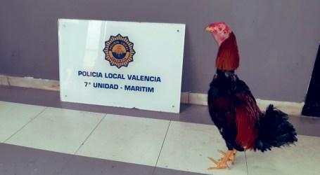Rescatan a un gallo de pelea en el Cabañal