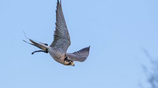 أسرع الطيور في العالم