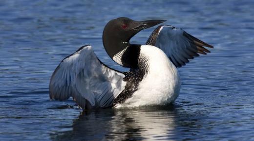 أهم أنواع طائر الغواص
