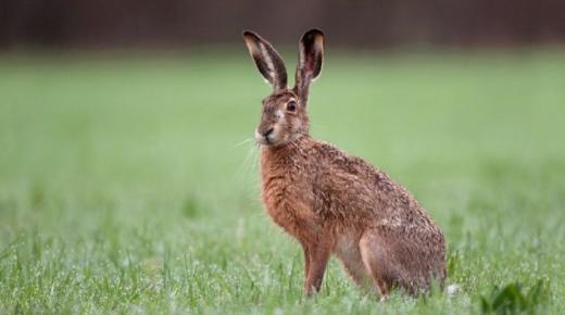 أهم المعلومات عن الأرنب الأوروبي