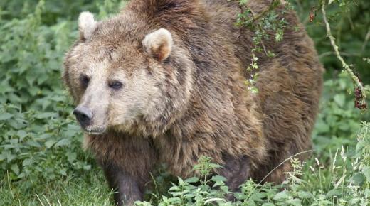 أهم المعلومات عن الدب الأوراسي