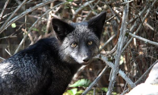 أهم المعلومات عن الذئب الفضي