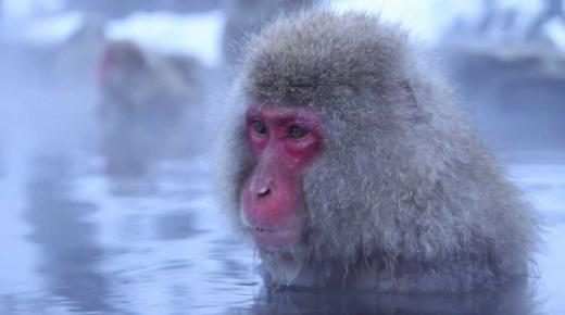 أهم المعلومات عن القرد الثلجي