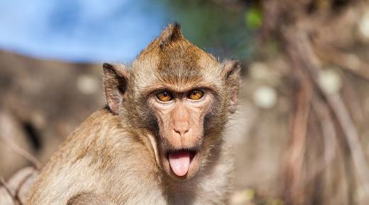 أهم المعلومات عن القرد الرايزيسي