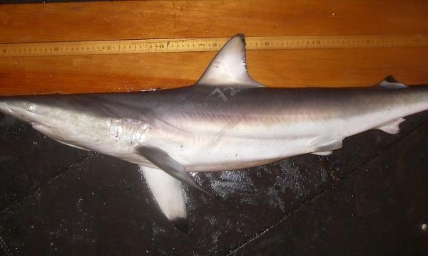 أهم المعلومات عن القرش الدوار