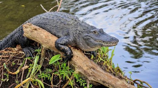 أهم المعلومات عن تمساح القاطور