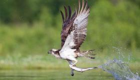 أهم المعلومات عن طائر الشماط
