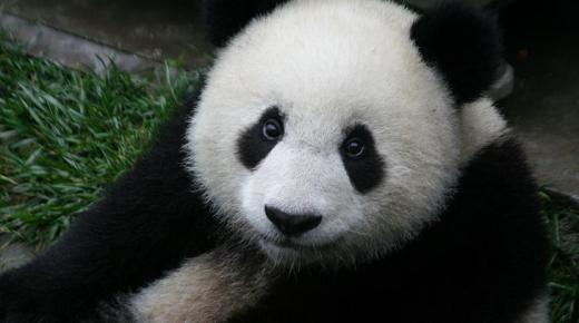 أهم المعلومات عن الباندا