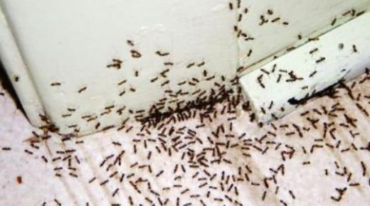 التخلص من النمل الموجود في المنزل