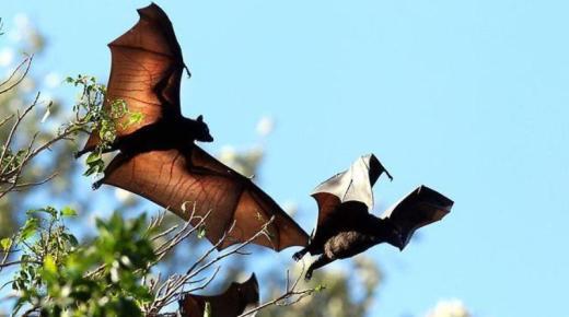 تفسير حلم رؤية الخفاش في المنام