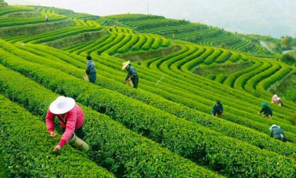 أكثر الدول إنتاجا للشاي